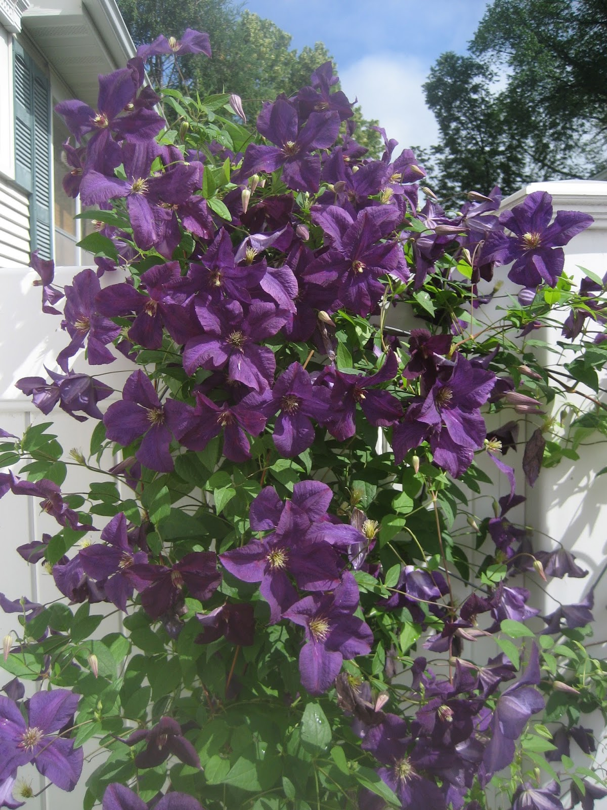 Deaf Dogs And Benevolent Gnomes Clematis Blooms And