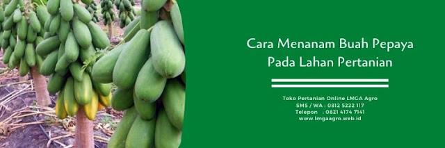 Budidaya pepaya,buah pepaya,cara menanam pepaya,tanaman pepaya,pertanian,lmga agro