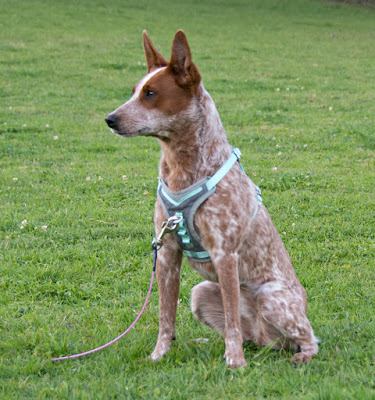 Rugged outdoor dog harness