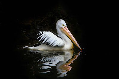 pelican-bird-swimming-in-the-water