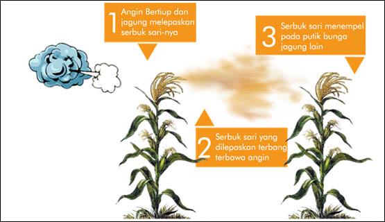 Penyerbukan dengan bantuan angin (anemogami)