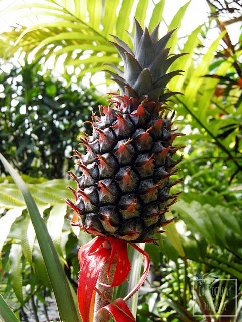 Ananas jadalny (Ananas cosmosus), opis i uprawa. Warunki glebowe i wodne, pielęgnacja, historia pochodzenie. Jak pielęgnować ananasa? Podlewanie, ziemia, gleba, przesadzanie, temperatura, podłoże, kwitnienie. Pineapple care.