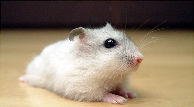 mua-ban-chuot-hamster-soc-socola-trang-tra-sua-3