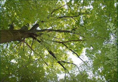 एक कविता: शीशम का पेड़