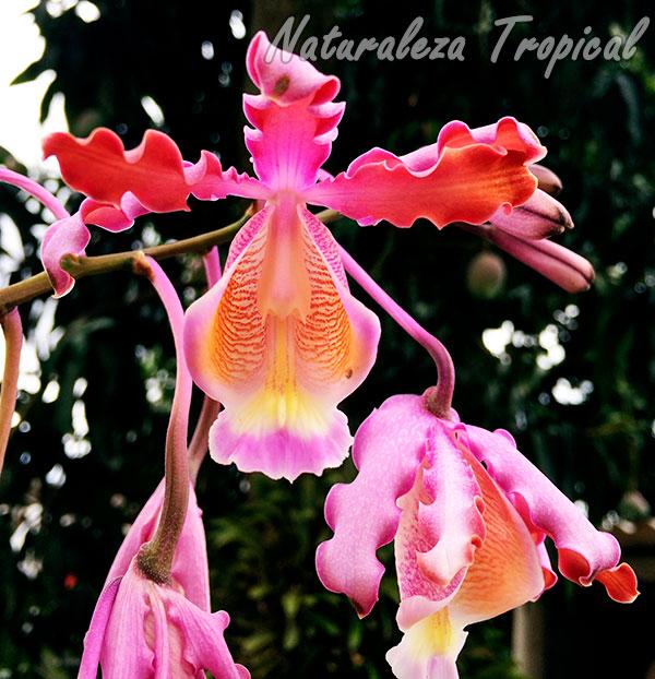 Flores de la orquídea rumbera, Mirmecophylla thompsoniana