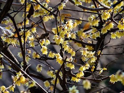 Robai (Chimonanthus praecox) blossoms: Engaku-ji