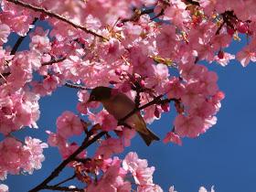 江の島の河津桜