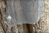Έξυπνη παγίδευση μελισσιού σε κυψέλη χωρίς να κόψουμε το δέντρο (video)
