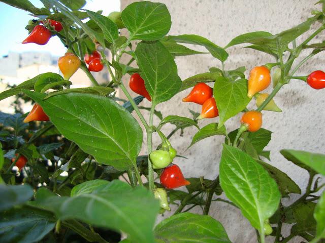 Pimenta biquinho da horta na varanda