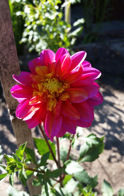 Late Summer Dahlias