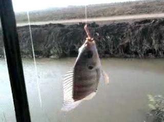 صيد سمك البلطي بالصنارة