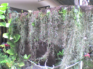 Tanaman Hias Gantung Janggut putih | Tukang kebun Jakarta