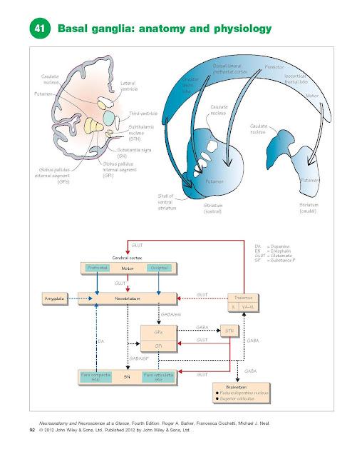 Basal Ganglia: Anatomy And Physiology