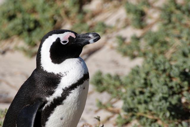 Boulders Beach en Simons Town, la playa de los pinguinos