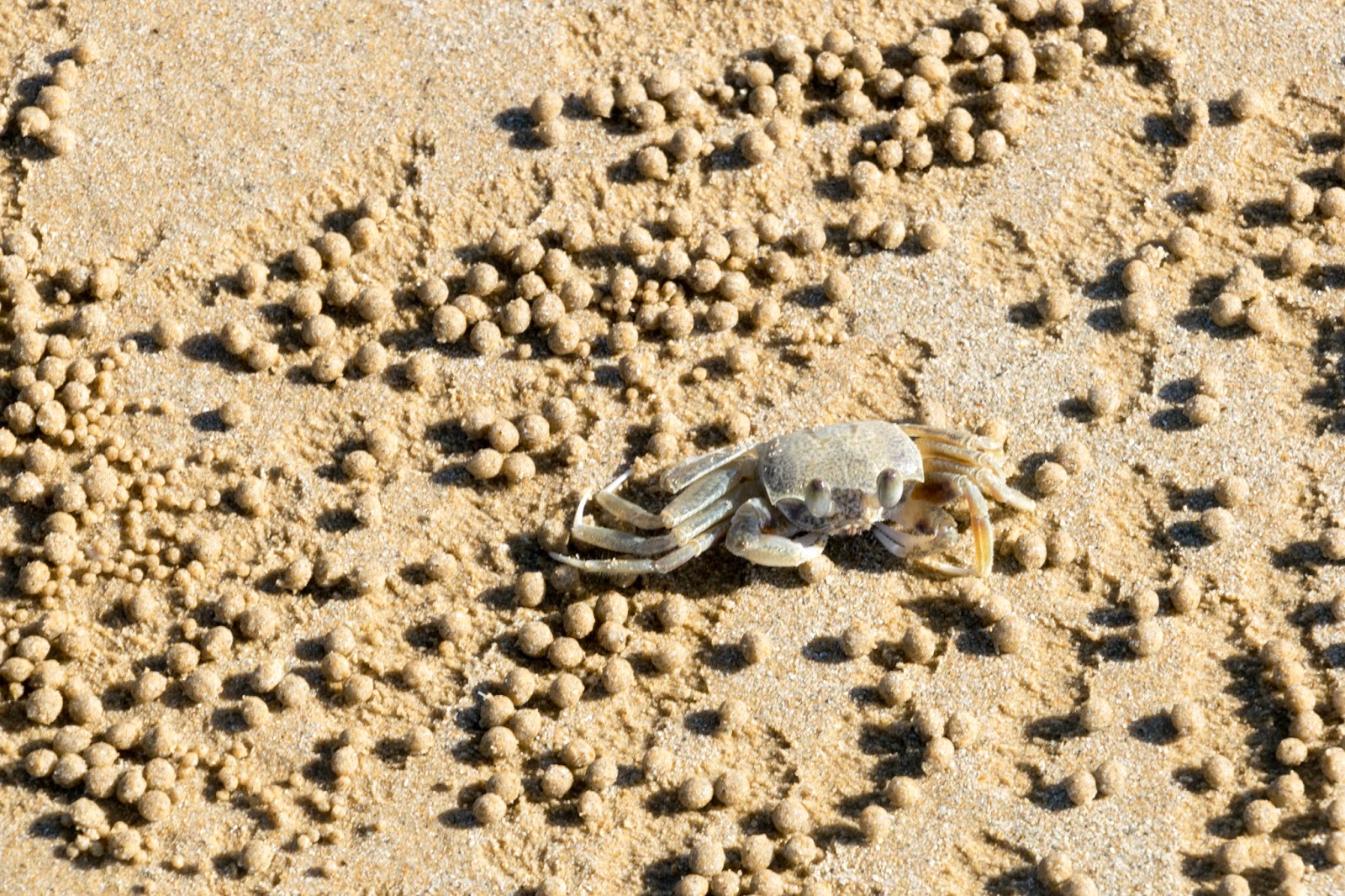 crab at mission beach
