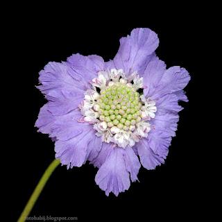 http://fotobabij.blogspot.com/2015/04/driakiew-kaukaska-kwiat-scabiosa.html