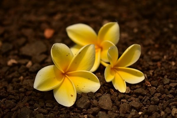 Fleur de frangipanier, secret de beauté - Hei Poa - Blog