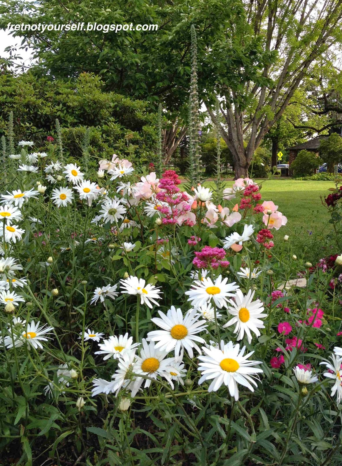 Shasta daisies, Luther Burbank gardens, Santa Rosa CA.
