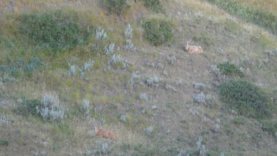wildlife, deer, Medicine Hat, Alberta, coulee, buck