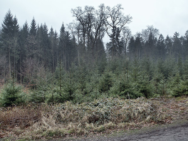 Nadelbäume im Forst