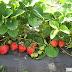 Cultivarea căpșunilor cu folie sau cum să scapi de grija buruienilor și a secetei