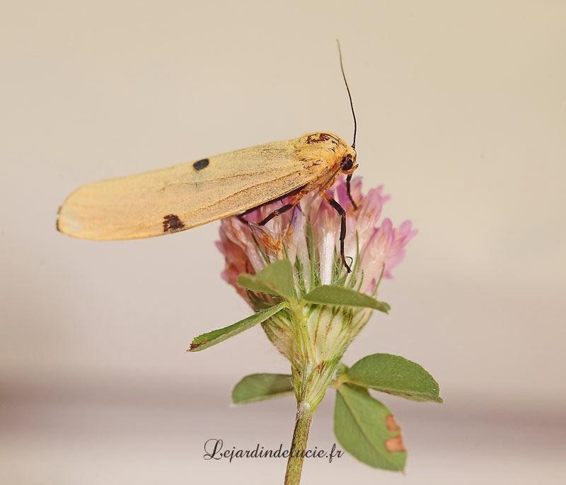 lithosia quadra papillon oeufs et jeune chenille. Black Bedroom Furniture Sets. Home Design Ideas