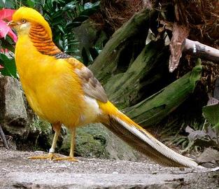 08f8cb17764e34285b67025c64ba9ad0 Foto Yellow Pheasant Terbaru Jual Ayam Hias HP : 08564 77 23 888 | BERKUALITAS DAN TERPERCAYA Foto Yellow Pheasant Terbaru Galeri Foto Yellow Pheasant Terbaru