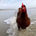 Η κότα που λατρεύει την παραλία...