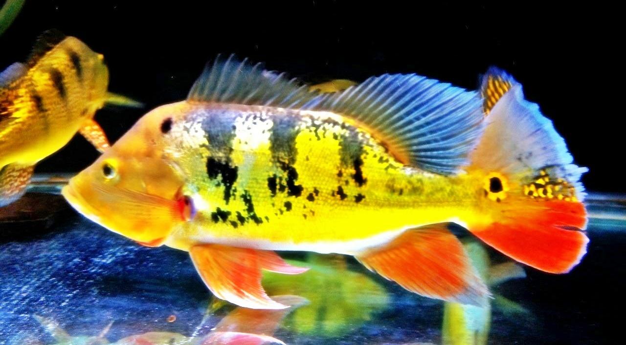 Ikan Peacock Bass Hobi Mancing Dan Makan Ikan