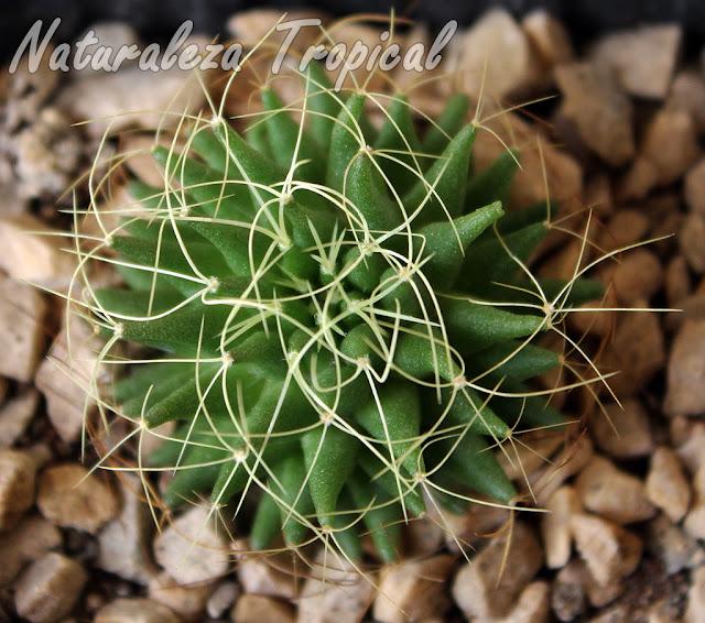 Vista superior del cactus Nido de Pájaro, Mammillaria decipiens camptotricha