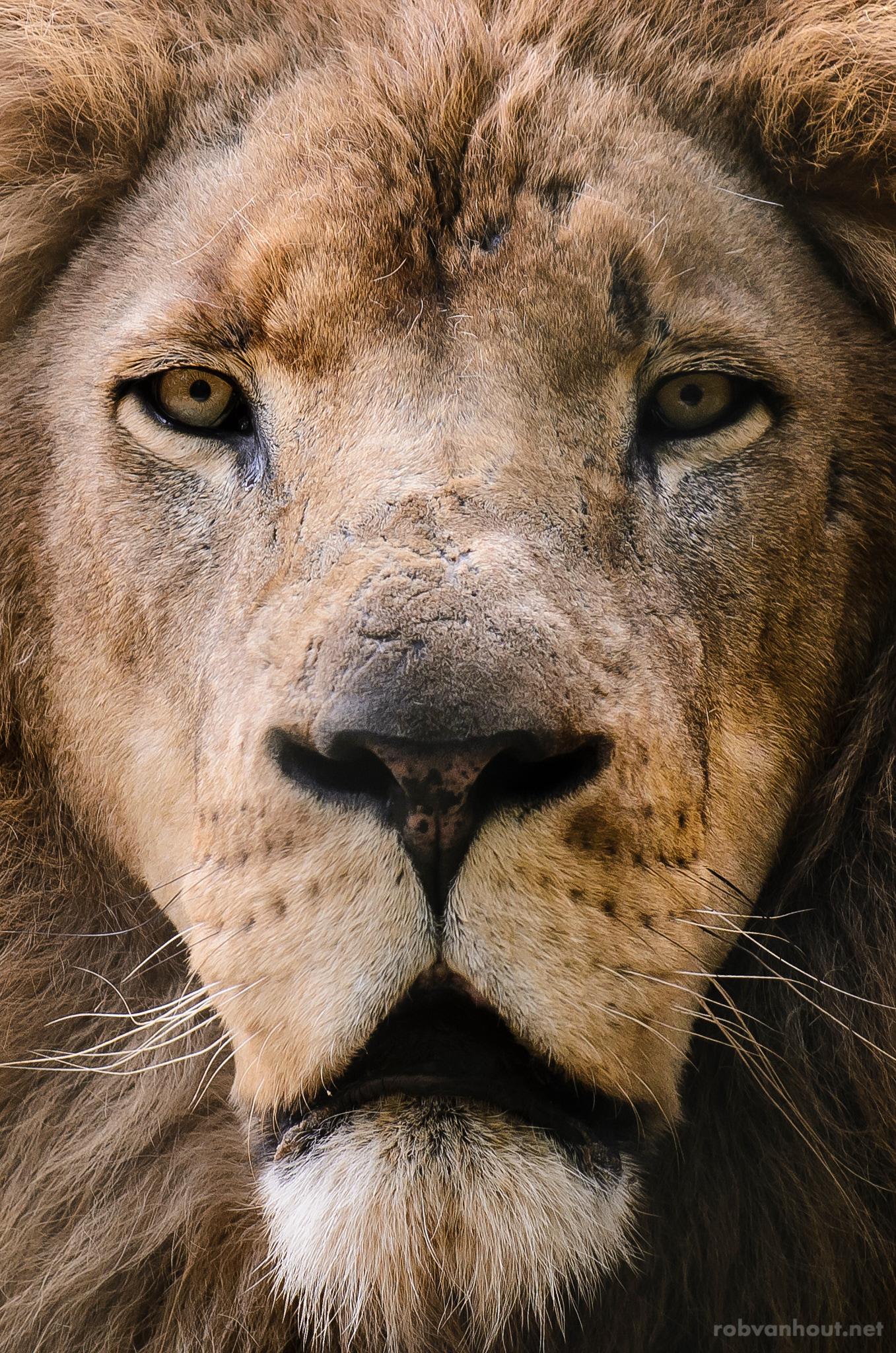 Lion — Amersfoort Zoo