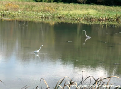 Egrets at Wildwood Lake and Park in Harrisburg Pennsylvania