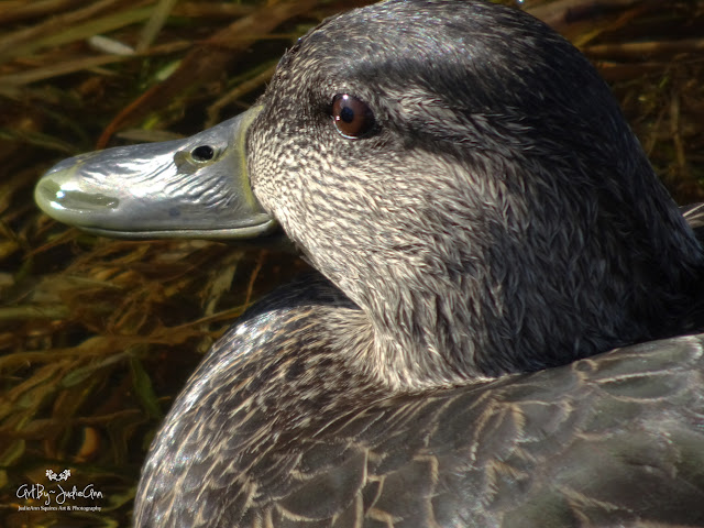 Female American Black Duck