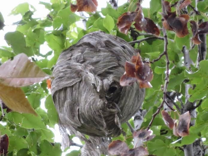 Oriole Bird Nest