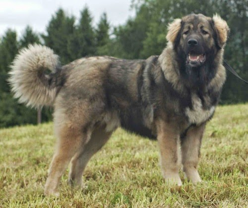 THE MOST 5 POPULAR: THE MOST 5 DANGEROUS DOG İN THE WORLD