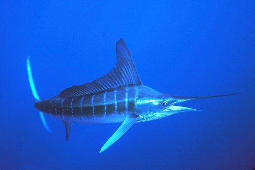 Striped Marlin   Animal Unique