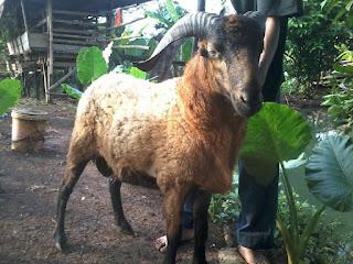 Domba Aqiqah Jantan