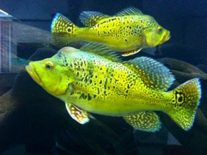 Xingu Peacock Bass