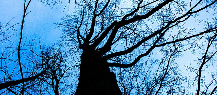 Dying trees from disease infestation and climate conditions