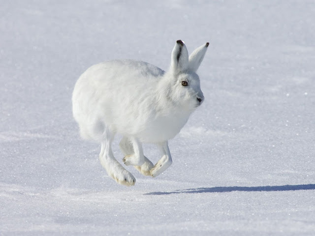 Snowshoe Hare facts and information 3