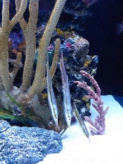 Poisson rasoir - Aeoliscus strigatus - Poisson-couteau strié - Poisson-crevette strié