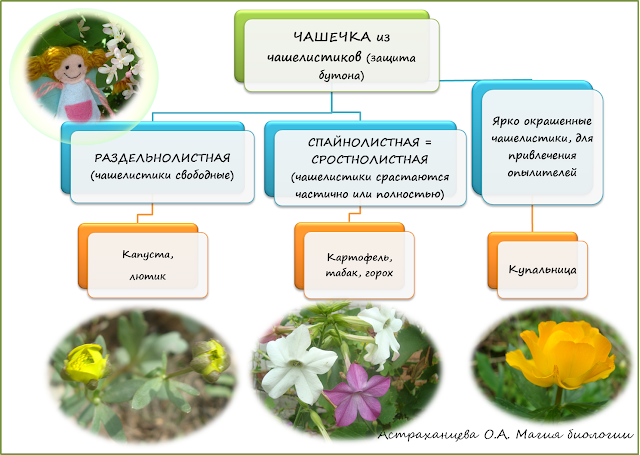 stroenie-okolocvetnika-i-chashechki-cvetka-magija-biologii-shema-stroenija-chashechki