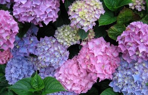 Cambiando El Color De Las Hortensias El Celuloide De Avogadro - Color-hortensia
