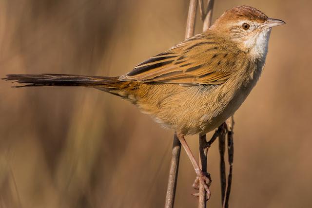 Cica-koreng Kecil, Little Grassbird, Megalurus gramineus
