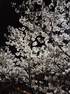 川沿いの夜桜1