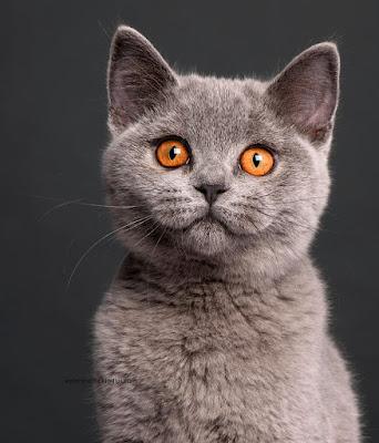 Evcil Kedi Irkları