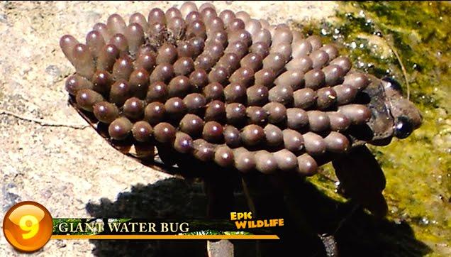 Giant Water Bug Egg