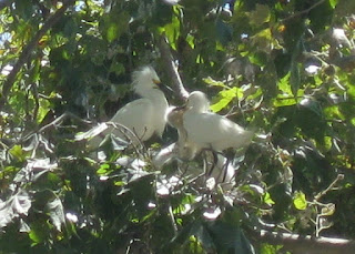 Snowy egrets feeding their nestlings, Mountain View, California