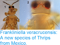 http://sciencythoughts.blogspot.co.uk/2017/02/frankliniella-veracrucensis-new-species.html