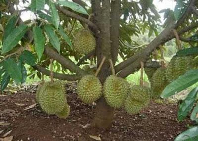 Cara Merawat Pohon Durian Yang Masih Kecil Dave Flora